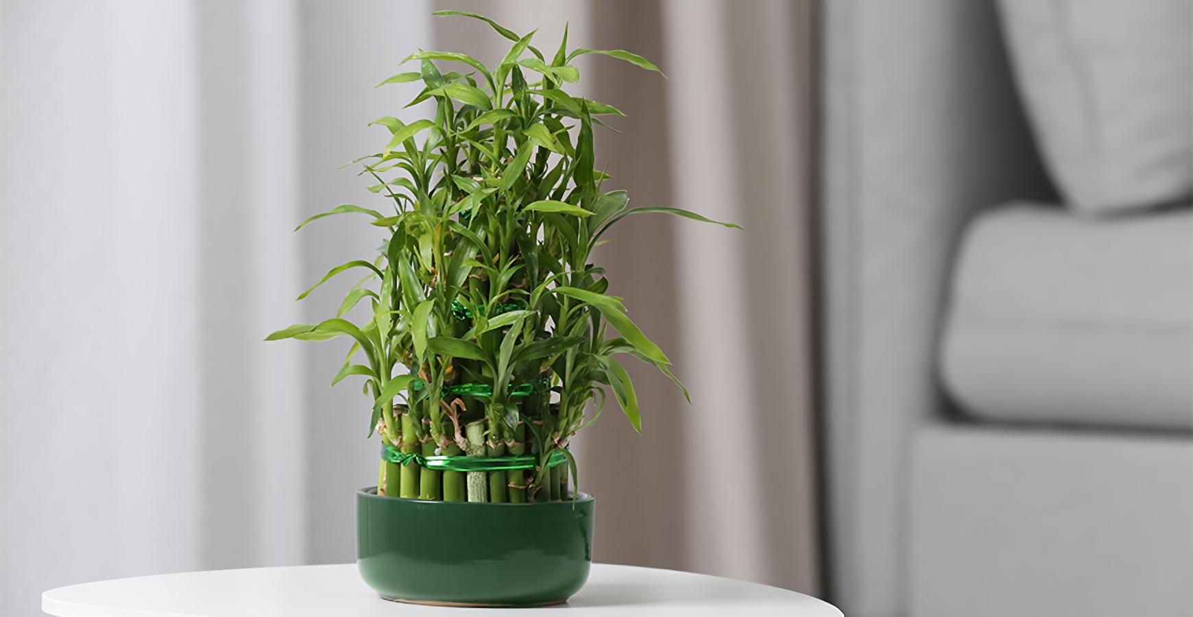 tanaman pembawa hoki menurut feng shui