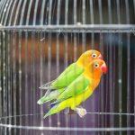 Simak Tata Cara memilih Lovebird untuk Lomba Agar Menang