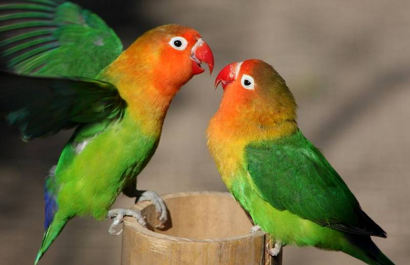 cara memilih lovebird untuk lomba
